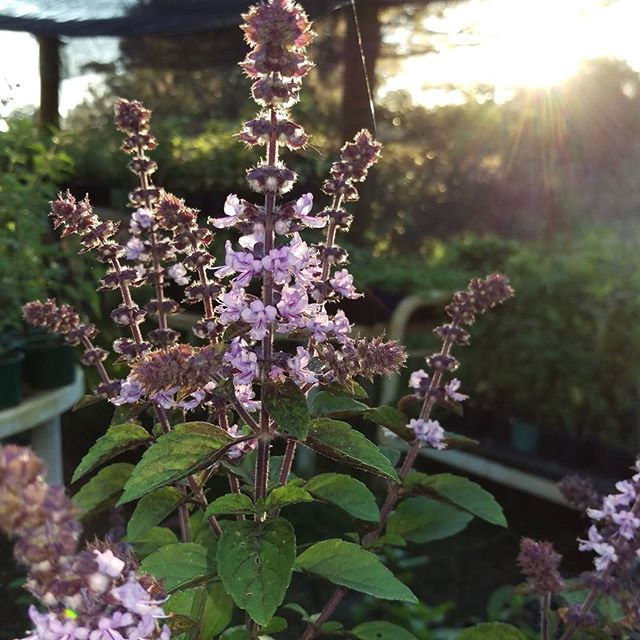 Perennial basil with the setting sun behind it