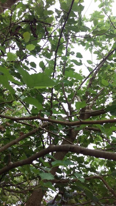 MulberryTree