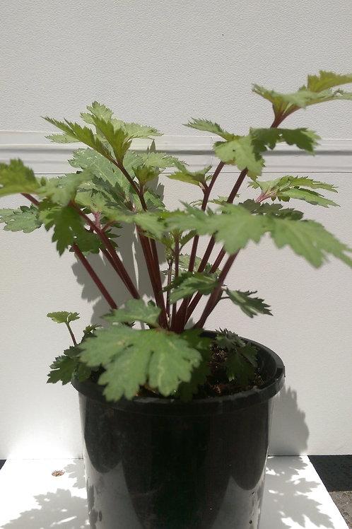 Artemisia 'Guizhou'