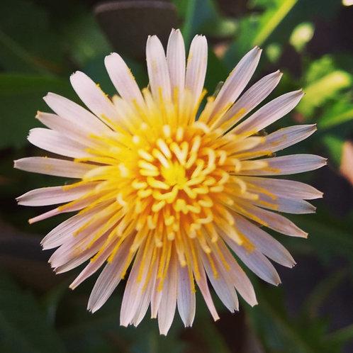 Dandelion-Pink Flower