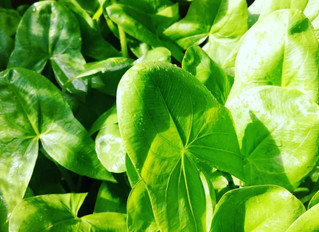 Ever thought of growing Aquatic perennial vegetables?