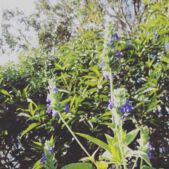 Chia flowering