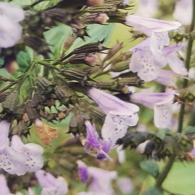 Calamintha nepitella flowering in the garden