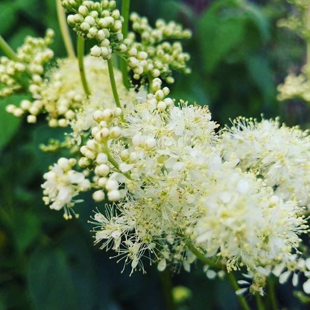 Meadowsweet flowering in the garden