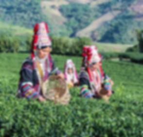 Akha Women from Thailand picking tea lea