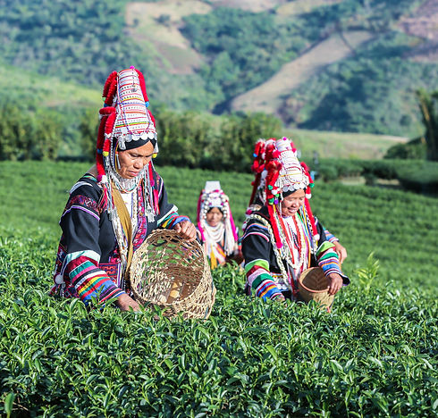 Akha Women from Thailand picking tea lea