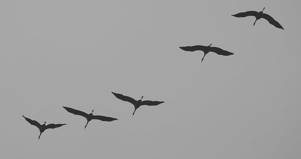 cranes-534922_1280_edited.jpg