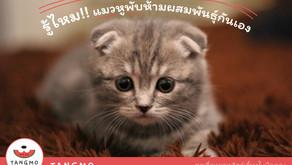 รู้ไหม!! แมวหูพับห้ามผสมพันธุ์กันเอง