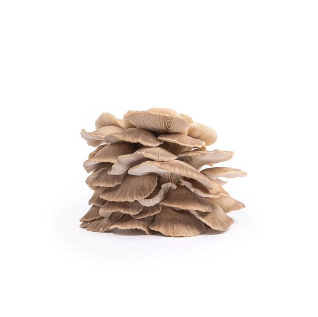 Phoenix Oyster Mushrooms