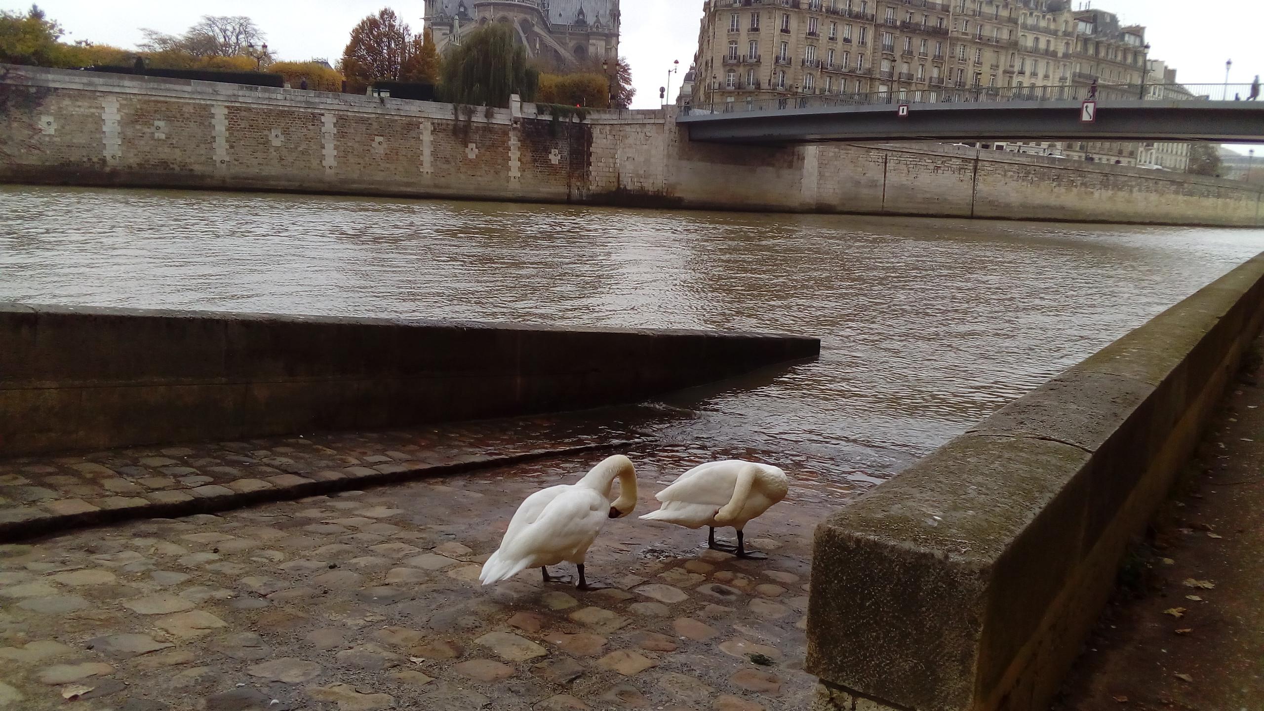 Swans on Ile St. Louis