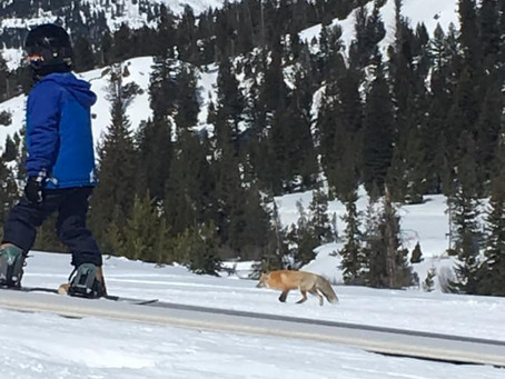 And you thought ski foxes only had two legs, right?