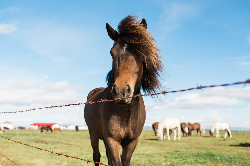 Icelandic Horses, photo by K. Engel Photography