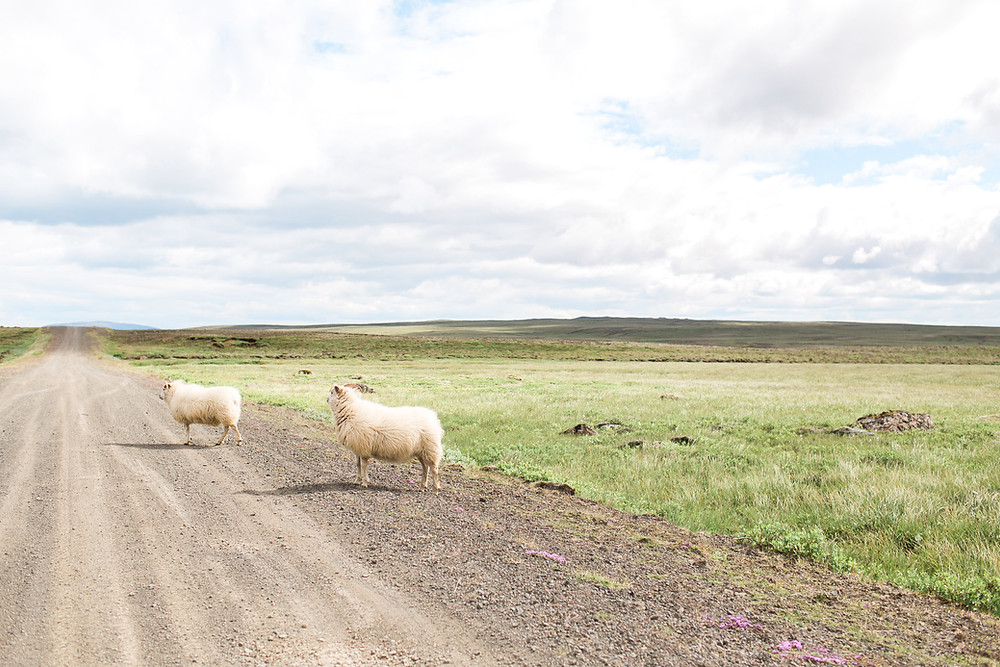 Sheep, photo by K. Engel Photography