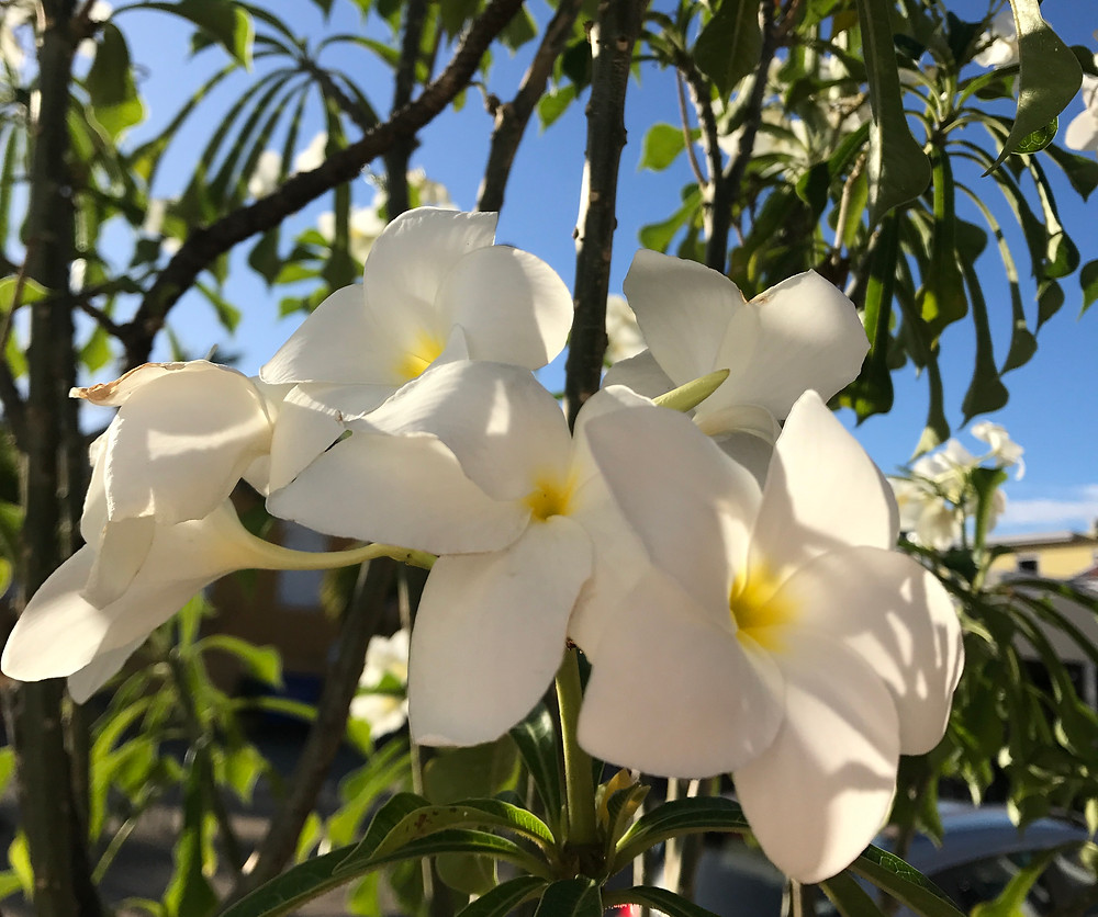 "This particular variety of plumeria is called ""Bonairian Oleander"""