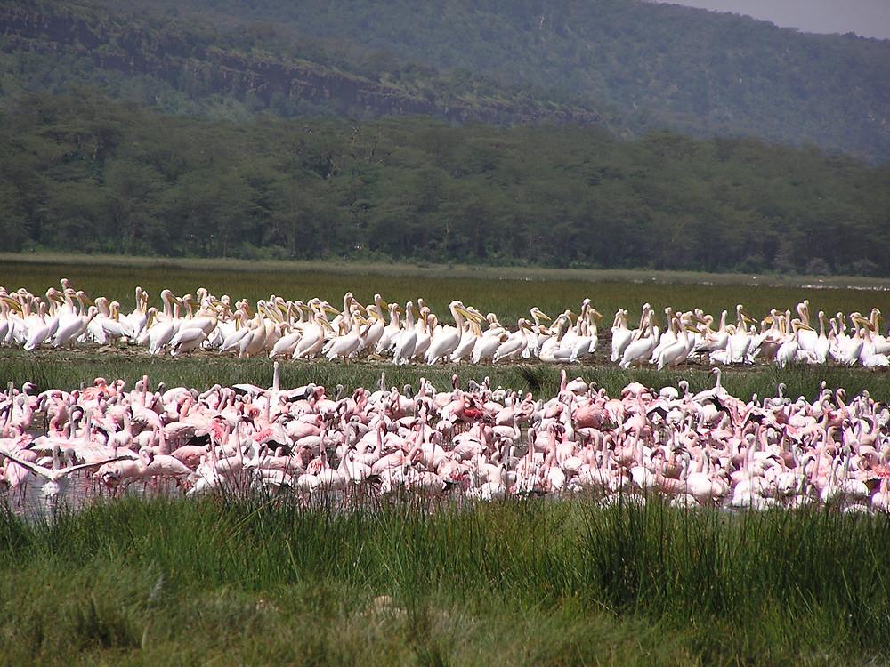 Flamingos! in Kenya