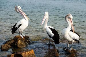 pelicans-4779344_1920.jpg