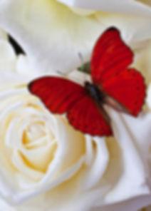 rosa bianca e farfalla1.jpg