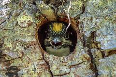 Picoides tridactylus.jpg