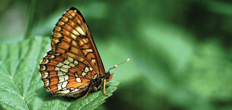Euphydryas_maturna_-_Nature_Conservation