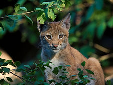 Eurasian_lynx_(Lynx_lynx).jpeg.jpeg