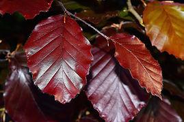 beech-leaves-783981_1920.jpg