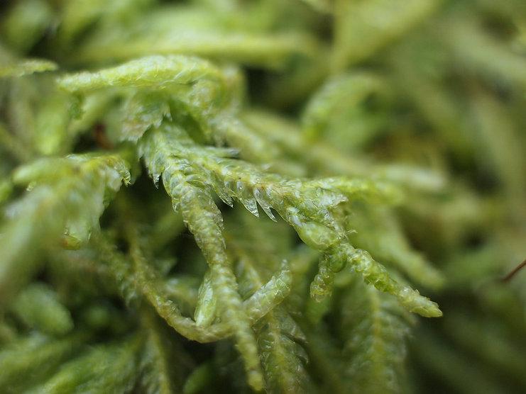 Plagiothecium undulatum.jpg