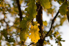 Quercus_petraea_-_Leaves.jpg