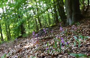 mitteleuropaeischer-orchideen-kalk-buche