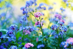 forget-me-not-5143015_1920.jpg