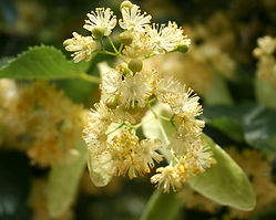 linden-tree-flowering-blossom-health-inf