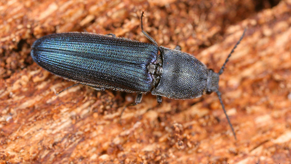 violet-click-beetle-limoniscus-violaceus