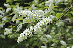 Prunus_padus_2.jpg