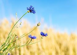 cornflower-5404185_1920.jpg