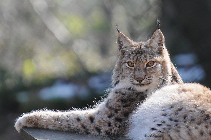 Lynx_lynx,_Luchs_03.jpg