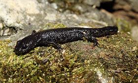 Noerdlicher-Kammmolch-triturus-cristatus