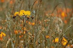 wild-flower-meadow-3386078_1920.jpg