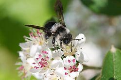Wildbiene_Frühlingspelzbiene.jpg