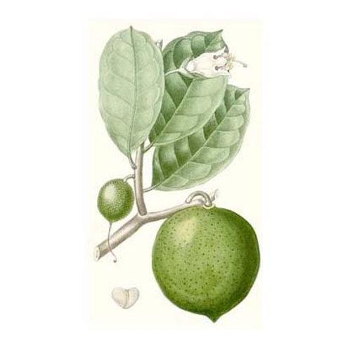 Turpin Fruit III - Canvas Art