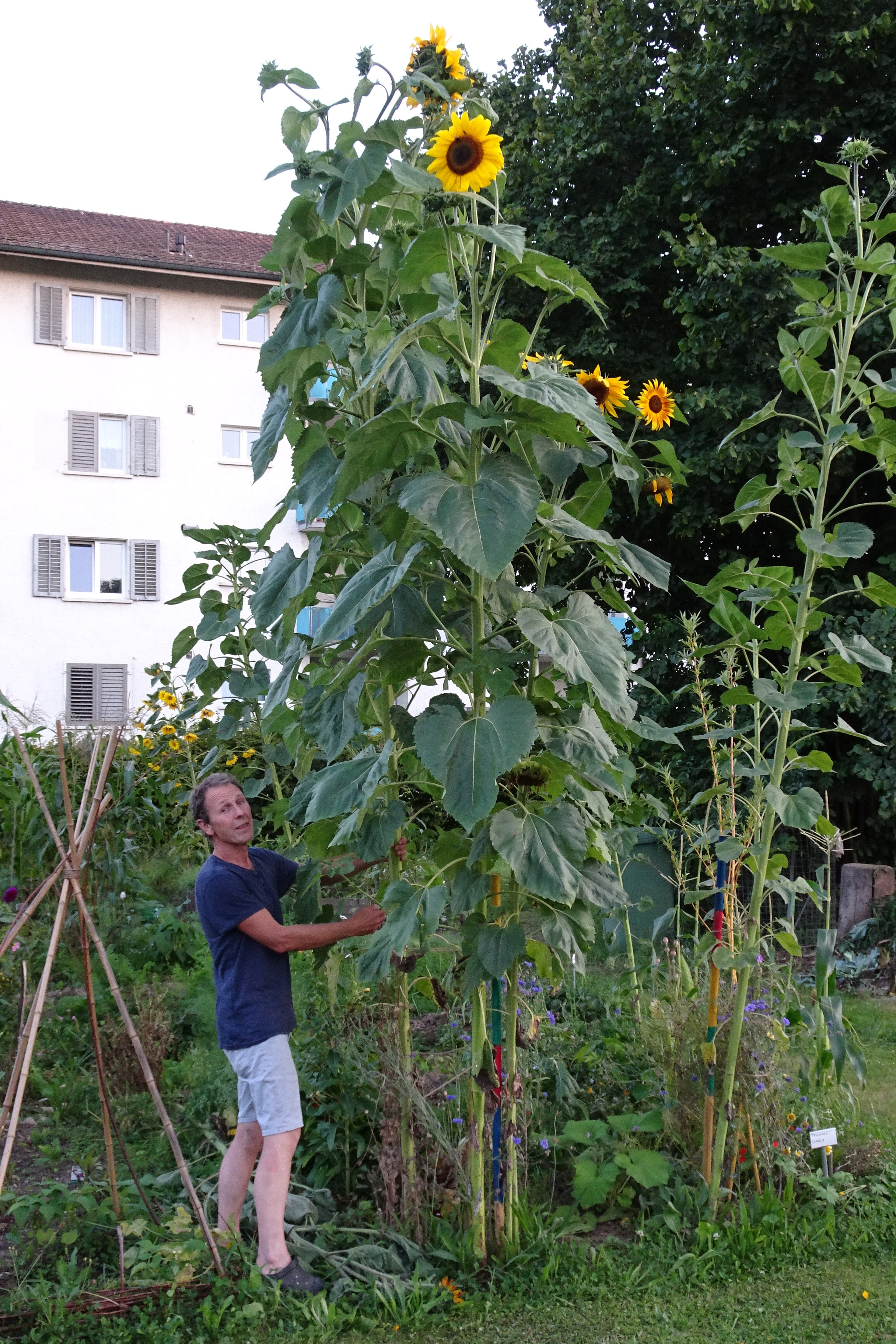 2020-08-06 Thomas, Ogif, Sonnenblume