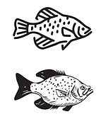 Crappie fish illustrations by Tiffany Lavender