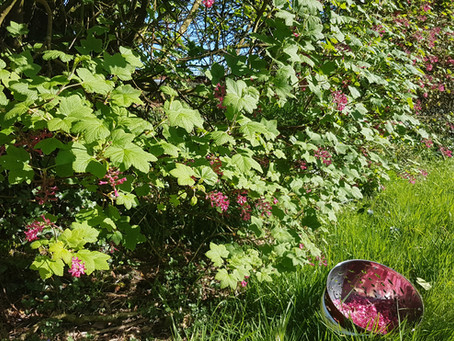 Fancy Foraged Foods - The Flowering Currant