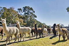 Alpacas looking for afternoon tea