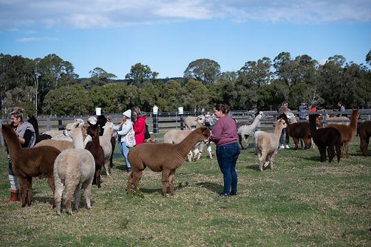 Meeting our alpacas