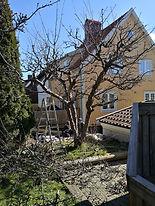 Trädgårdsskötsel trädgårdshjälp beskärning fruktträd arborist.jpg