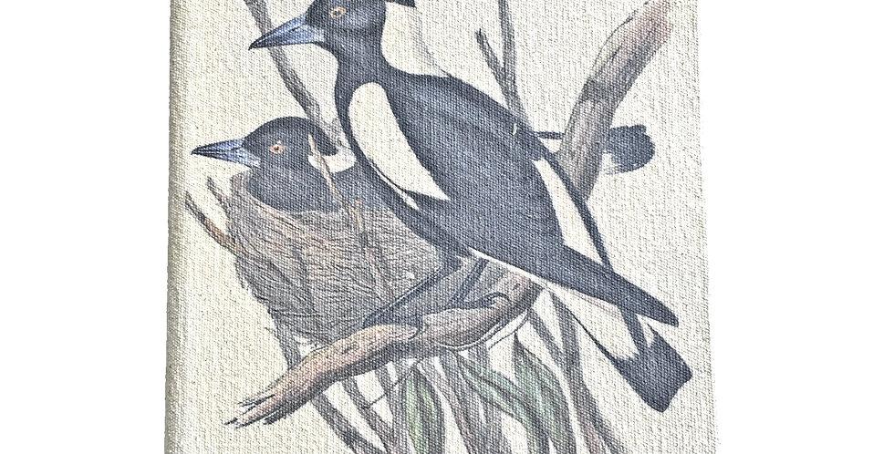Australian Magpie SK375