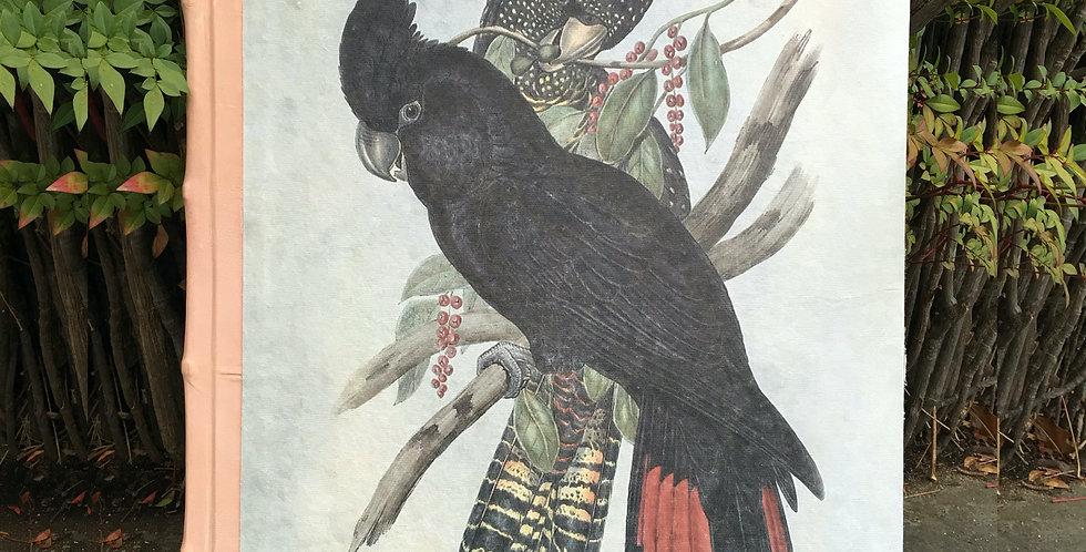 Australian Black Parrot  SK333