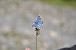 Blaue Schmetterling