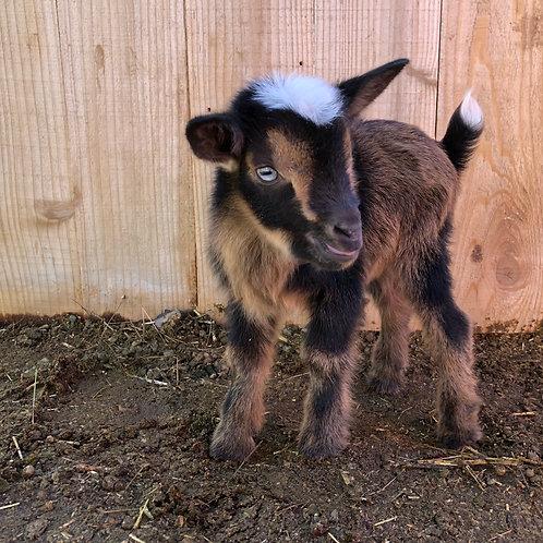 L15 blue-eyed, polled doe DOB 2.20.19