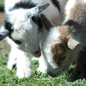 What to feed your goats