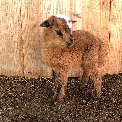 L18 blue-eyed doe DOB 2.20.19